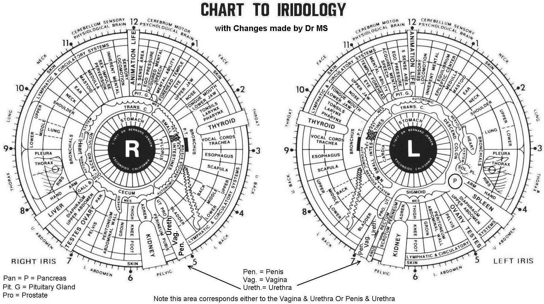 Iridology chart revised updated 19 feb 2006 geenschuldenfo Gallery